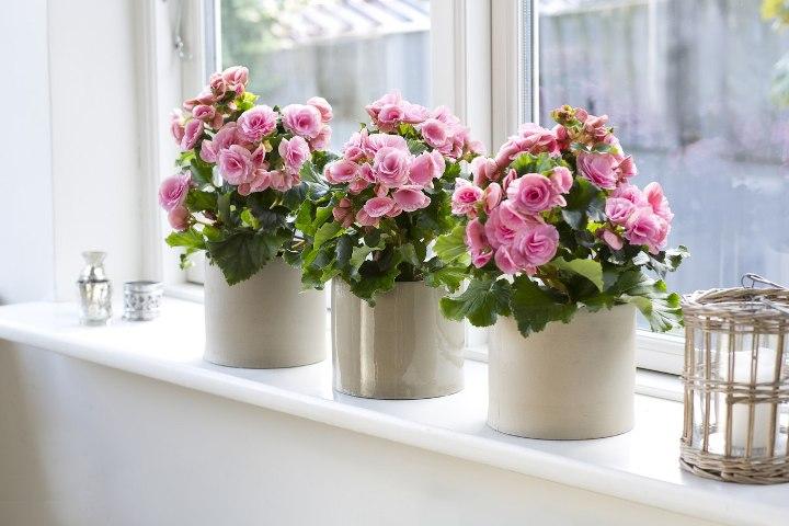Декоративные розы на подоконнике
