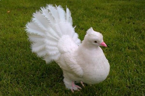 golub-iz-p.b_5