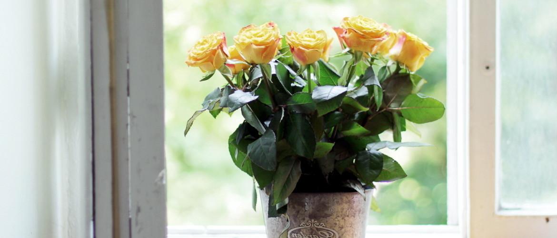Живой букет на подоконнике: как вырастить розу из срезанного цветка в домашних условиях
